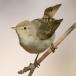 Balkanbergfluiter – Eastern Bonelli's Warbler