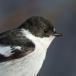 Balkanvliegenvanger – Semicollared Flycatcher