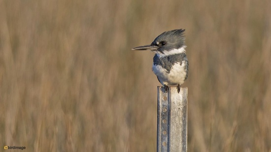 Bandijsvogel - Belted kingfisher 003