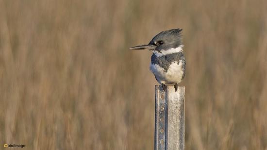 Bandijsvogel - Belted kingfisher 003