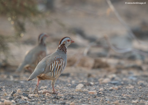 Barbarijse patrijs - Barbary Partridge 03