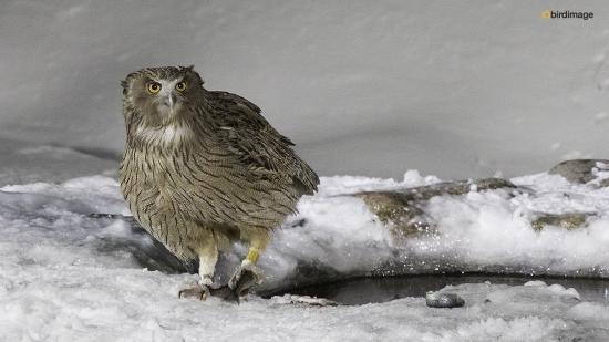 Blakistons visuil -Blakiston's fish owl 05