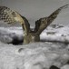 Blakistons visuil -Blakiston's fish owl 01