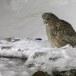 Blakistons visuil -Blakiston's fish owl 03