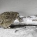 Blakistons visuil -Blakiston's fish owl 07