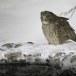 Blakistons visuil -Blakiston's fish owl 08