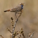 blauwborst-bluethroat-01
