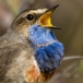 blauwborst-bluethroat-03