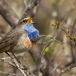 blauwborst-bluethroat-04