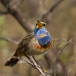blauwborst-bluethroat-05