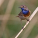 blauwborst-bluethroat-07