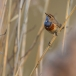 blauwborst-bluethroat-08