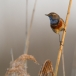 blauwborst-bluethroat-09