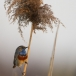 blauwborst-bluethroat-10