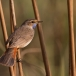 blauwborst-bluethroat-11