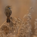 blauwborst-bluethroat-12