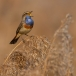 blauwborst-bluethroat-13