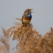 blauwborst-bluethroat-15