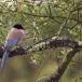 blauwe-ekster-azure-winged-magpie-01