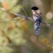 blauwe-ekster-azure-winged-magpie-09