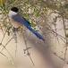 blauwe-ekster-azure-winged-magpie-12