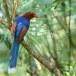 Blauwe-kitta-Sri-Lanka-blue-magpie-03