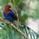 Blauwe-kitta-Sri-Lanka-blue-magpie-05