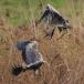 blauwe-reiger-grey-heron-07