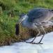 blauwe-reiger-grey-heron-08