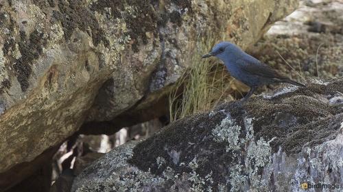 Blauwe Rotslijster - Blue Rock Thrush 22