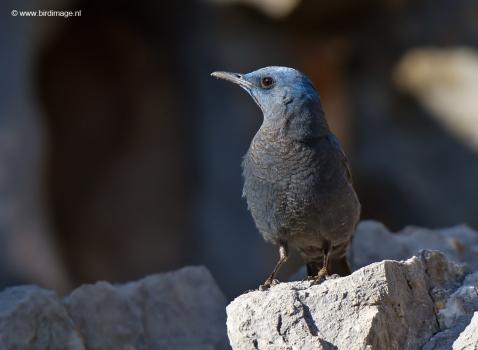blauwe-rotslijster-blue-rock-thrush-18