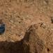 blauwe-rotslijster-blue-rock-thrush-01