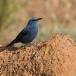 blauwe-rotslijster-blue-rock-thrush-03