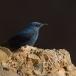 blauwe-rotslijster-blue-rock-thrush-04