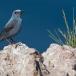 blauwe-rotslijster-blue-rock-thrush-08