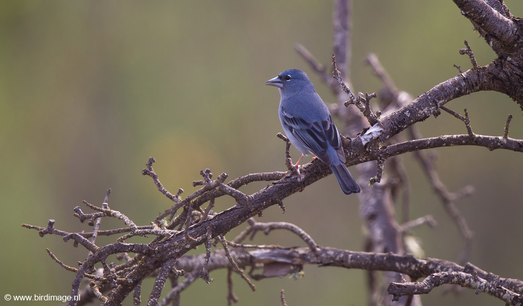 Blue chaffinch fringilla teydea tenerife canary islands male models picture - Blauwe agency ...