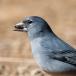 Blauwe Vink – Blue Chaffinch