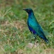 blauwoorglansspreeuw-lesser-blue-eared-glossy-starling-01