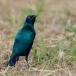 blauwoorglansspreeuw-lesser-blue-eared-glossy-starling-03
