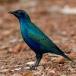 Noordelijke Blauwoorglansspreeuw – Lesser Blue-eared Glossy Starling