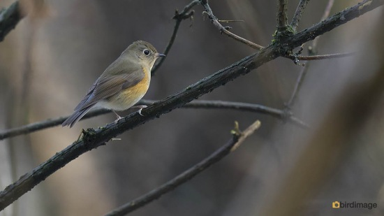 Blauwstaart - Red-flanked Bluetail 01