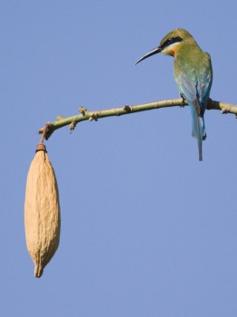 blauwstaartbijeneter-blue-tailed-bee-eater-03