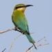 Blauwstaartbijeneter – Blue-tailed Bee-eater