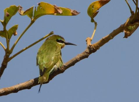 blauwwangbijeneter-blue-cheeked-bee-eater-02