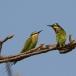 blauwwangbijeneter-blue-cheeked-bee-eater-01