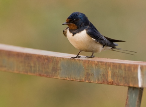 Boerenzwaluw - Barn Swallow 04
