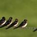 boerenzwaluw-barn-swallow-01