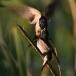 boerenzwaluw-barn-swallow-05