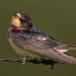 boerenzwaluw-barn-swallow-06