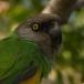Bont Boertje – Senegal Parrot